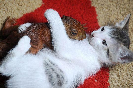 pisica si veverita