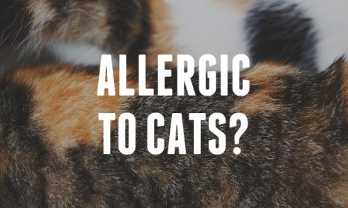Pisici pentru persoanele alergice – Pisici hipoalergenice