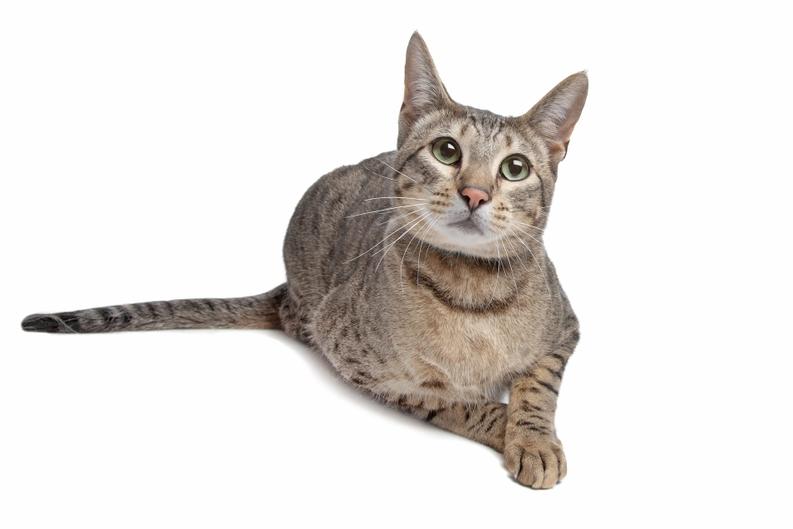 Pisica bengaleza – De ce este cea mai cautata si cea mai scumpa pisica