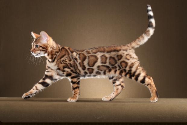 pisica bengal