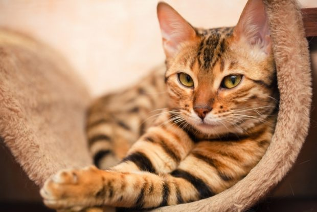 Pisica bengaleza