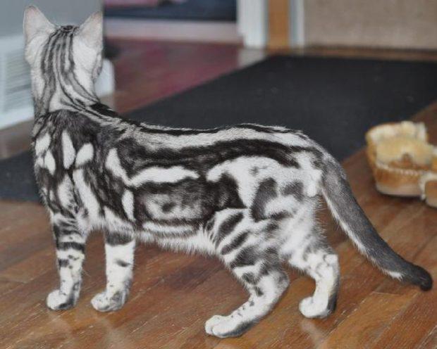 pisica bengaleza gri