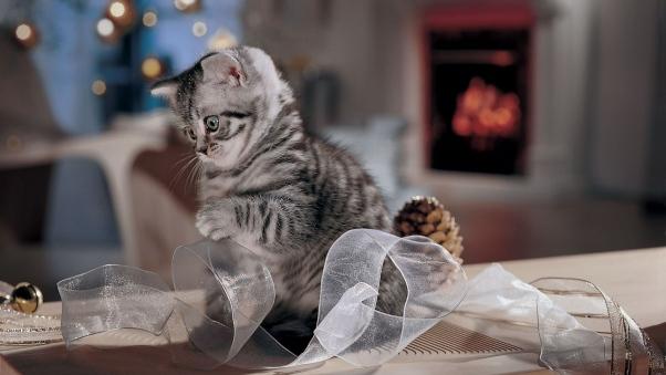 pisica tunsa